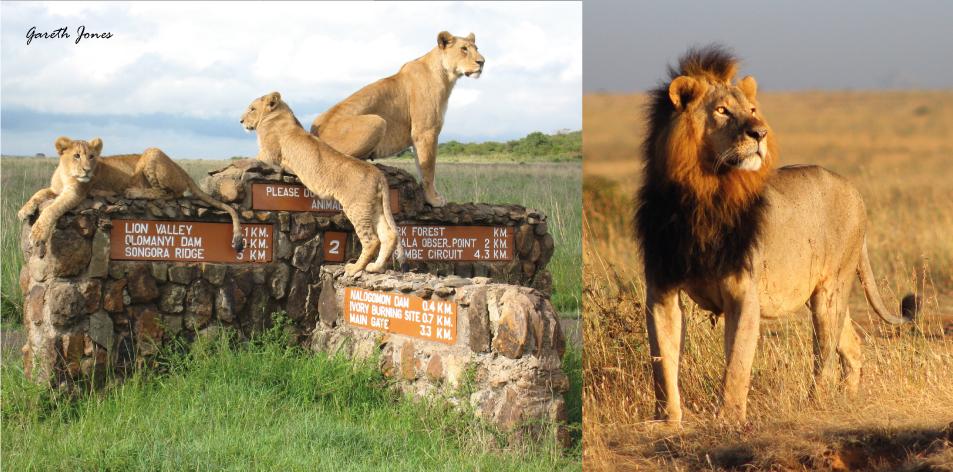 Nairobi's Struggling Lions - Article by Gareth Jones