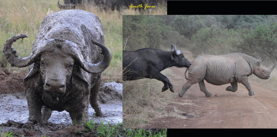 The Mighty Buffalo - Article by Gareth Jones