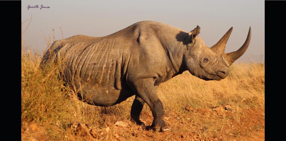 The Nairobi Rhinos - Article by Gareth Jones