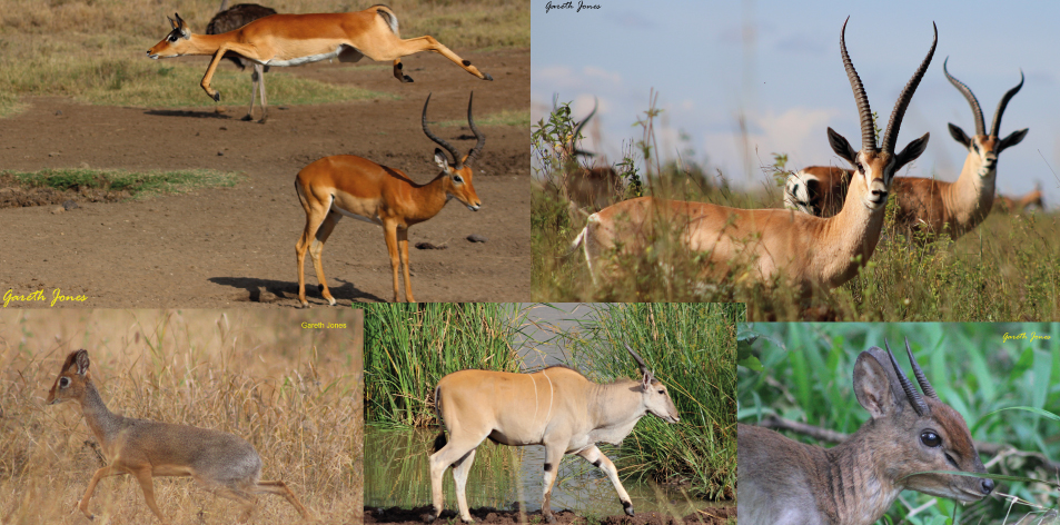 The Unique African Antelope - Article by Gareth Jones