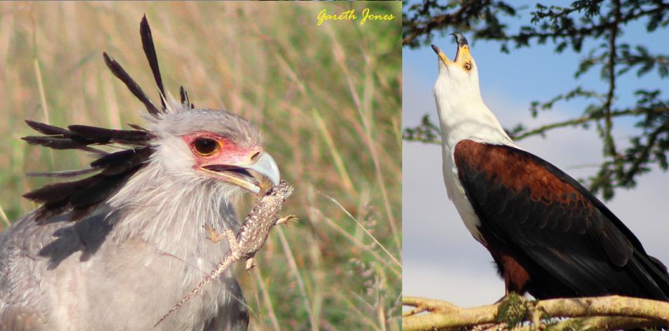 Nairobi's Special Raptors 'Eagles'- Article by Gareth Jones