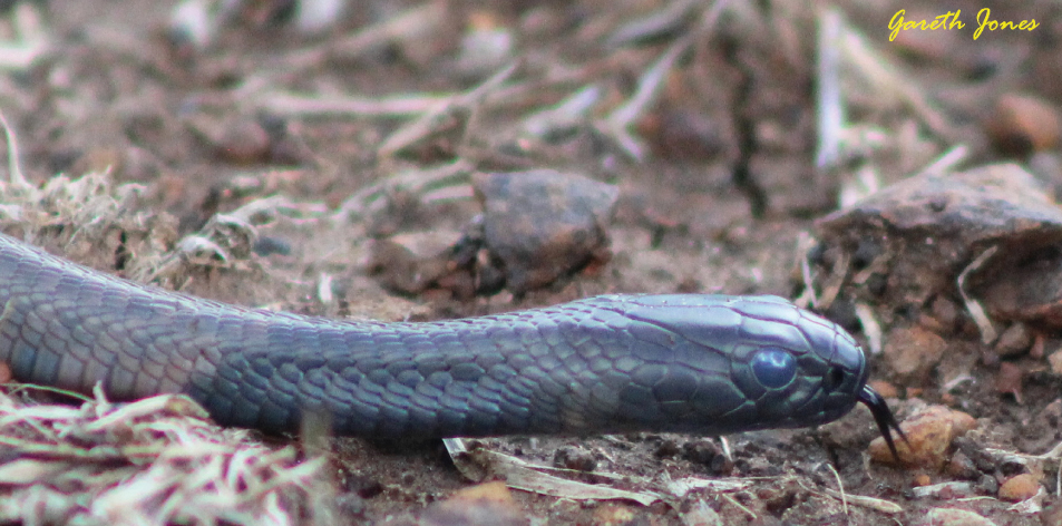 The Nairobi Snakes ?- Article by Gareth Jones