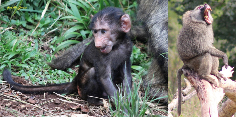 Nairobi Baboons – Article by Gareth Jones