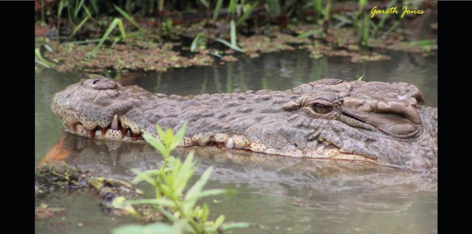 The Nairobi Crocodiles - Article by Gareth Jones