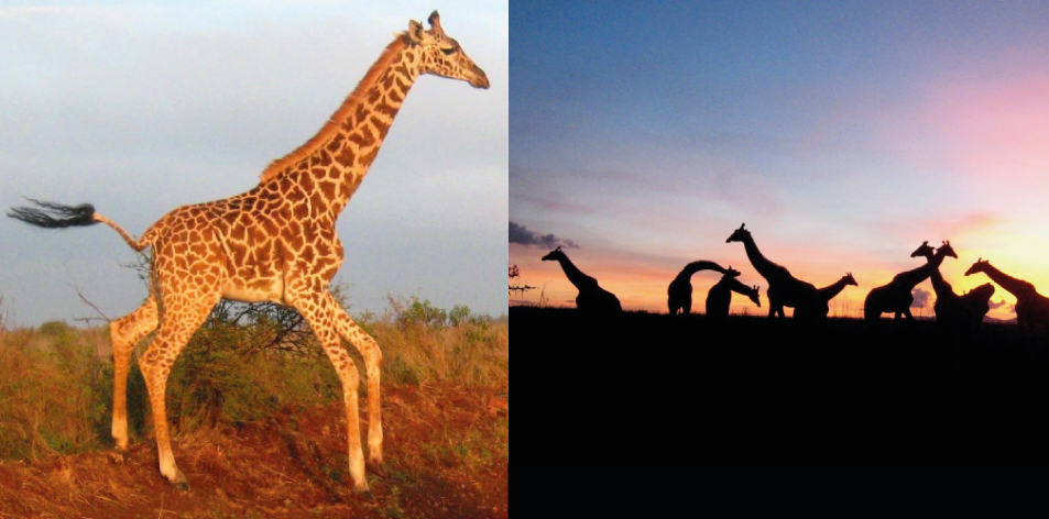 Giraffes Are Amazing! – Article by Gareth Jones