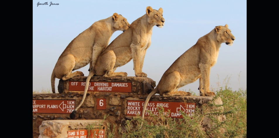 Lions On Signs – Article by Gareth Jones
