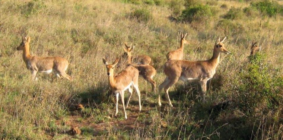 Reedbuck- The African Antelope! - Article by Gareth Jones