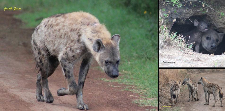 The Laughing Hyenas – Article by Gareth Jones