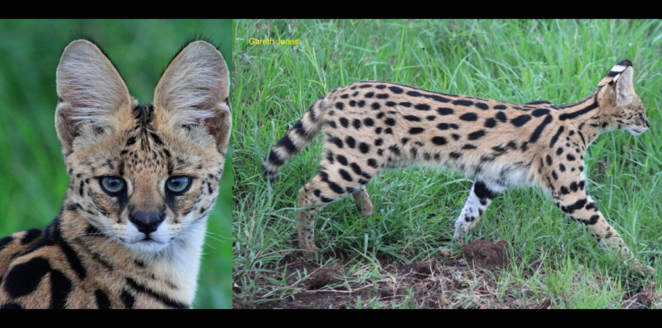 The Nairobi Servals! - Article by Gareth Jones