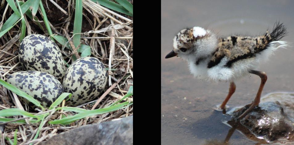 eggs & chicks