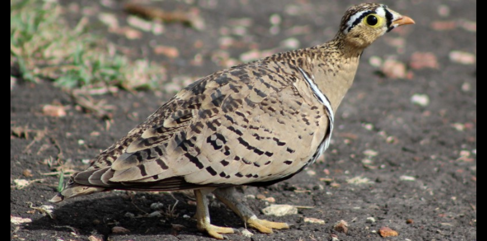 The Sandgrouse Safari!!!- Article by Gareth Jones
