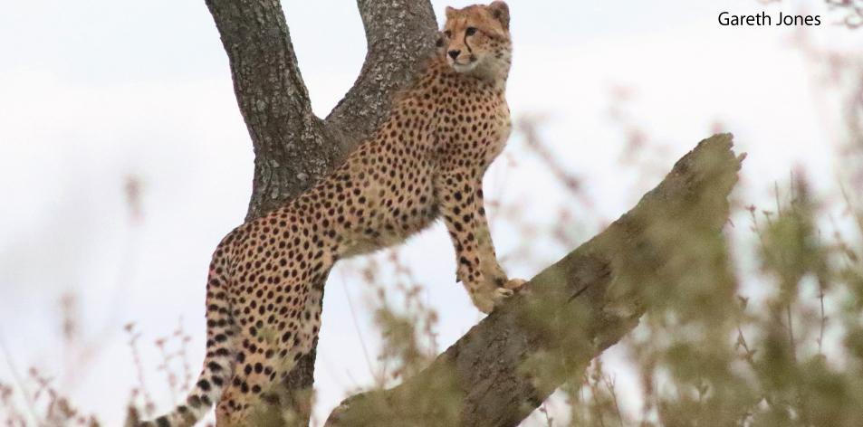 The Rare cheetah